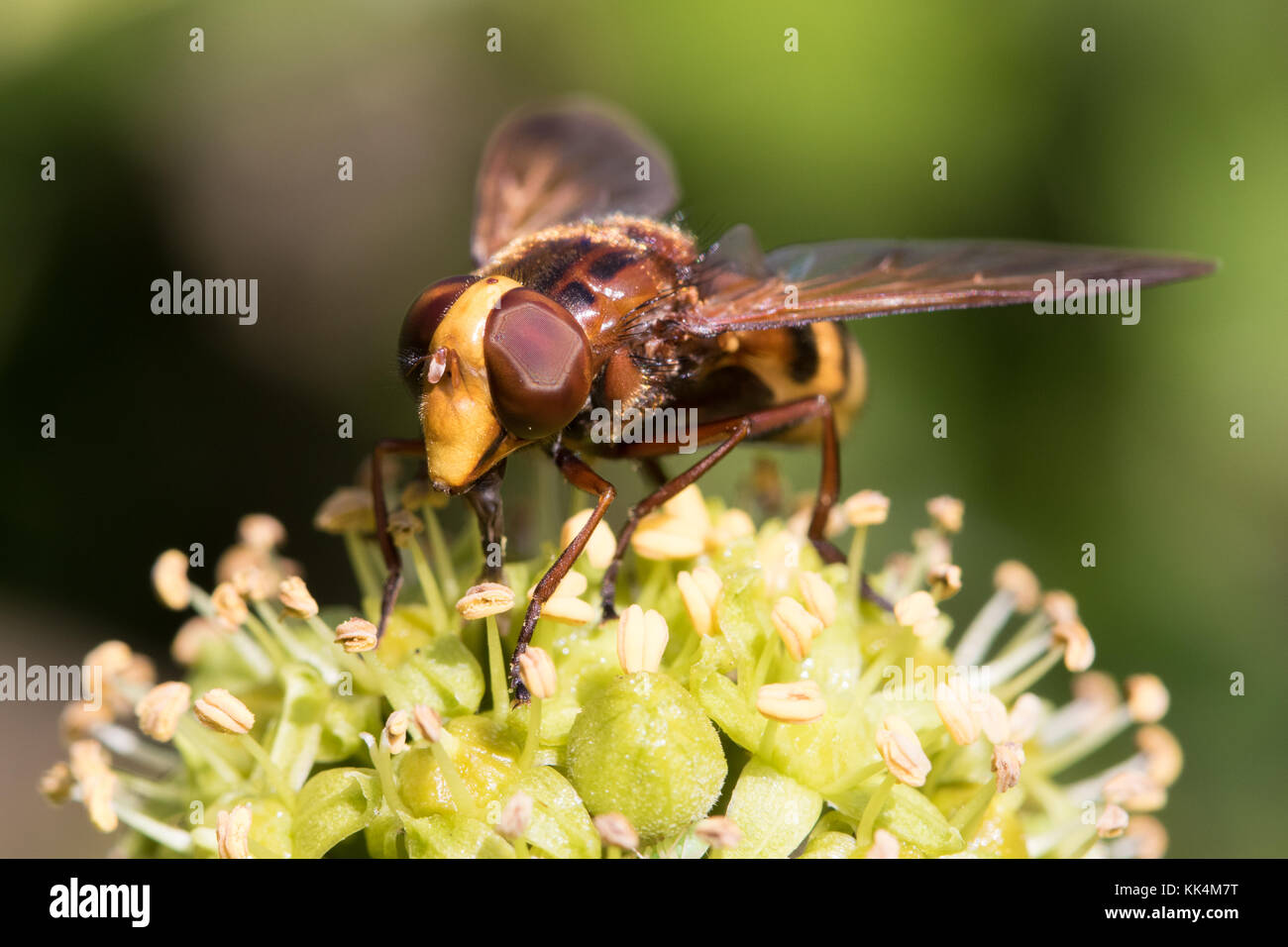 Volucella zonaria (a hoverfly hornet-mimic) feeding on Ivy (Hedera helix) flowers - Stock Image