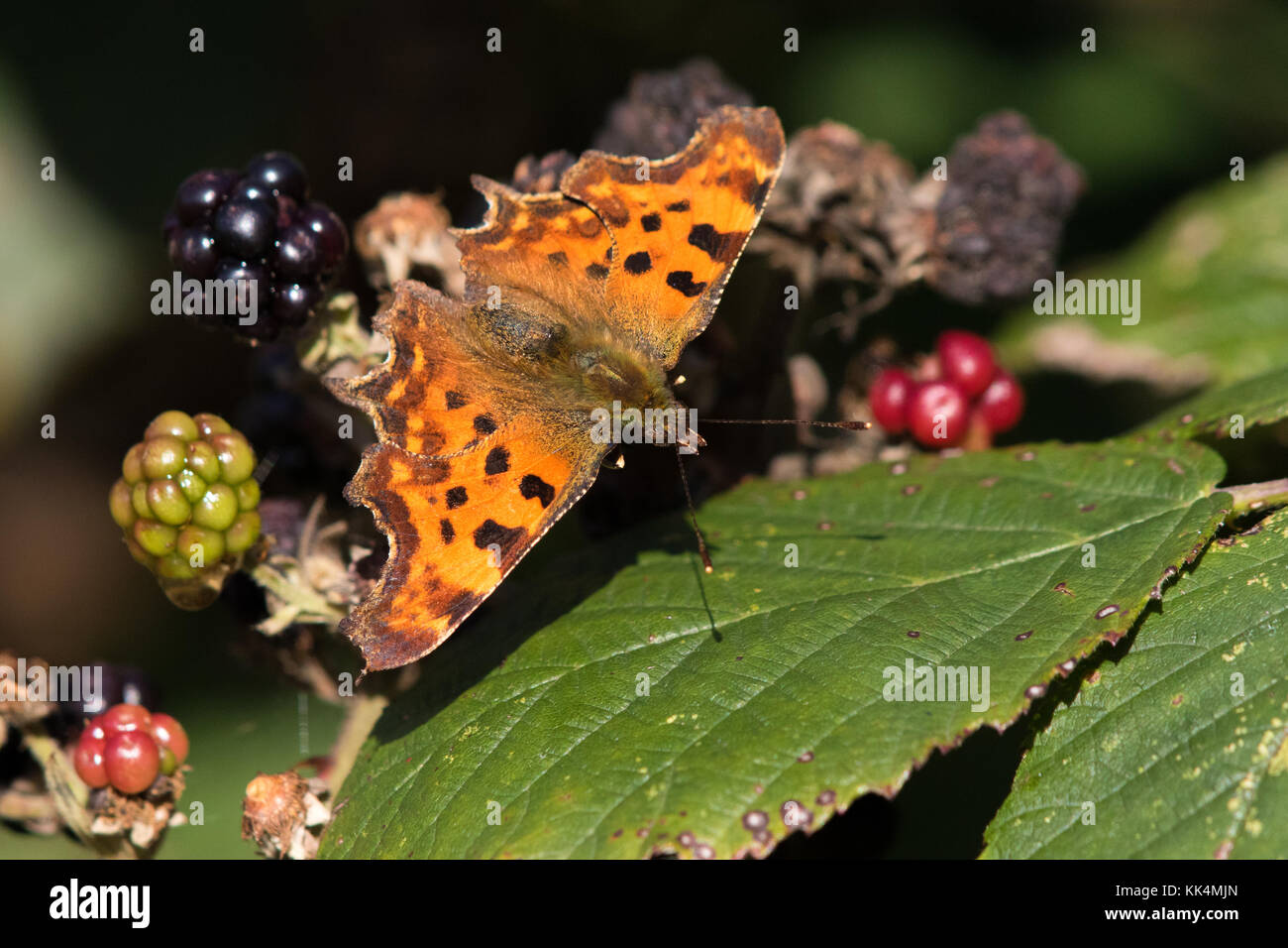Comma (Polygonia c-album) butterfly resting on blackberries - Stock Image