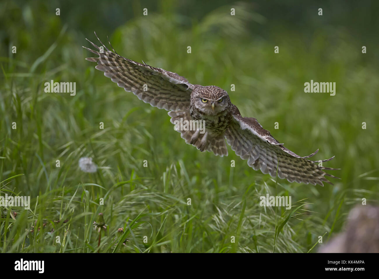 Little Owl, Athene noctua, in flight, East Yorkshire, England, UK, introduced to Britain 19th century, partly diurnal. - Stock Image