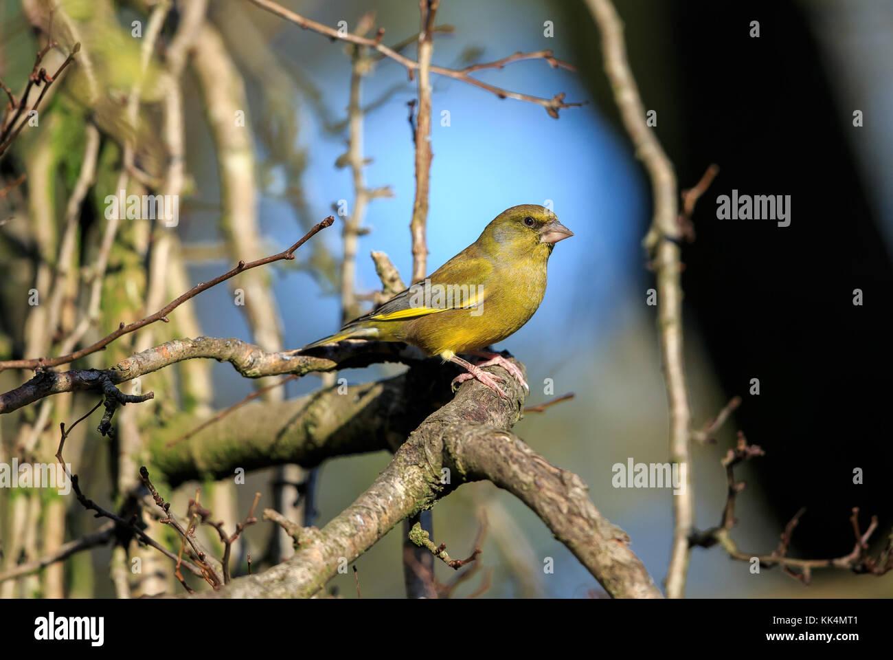 An European Greenfinch Stock Photo