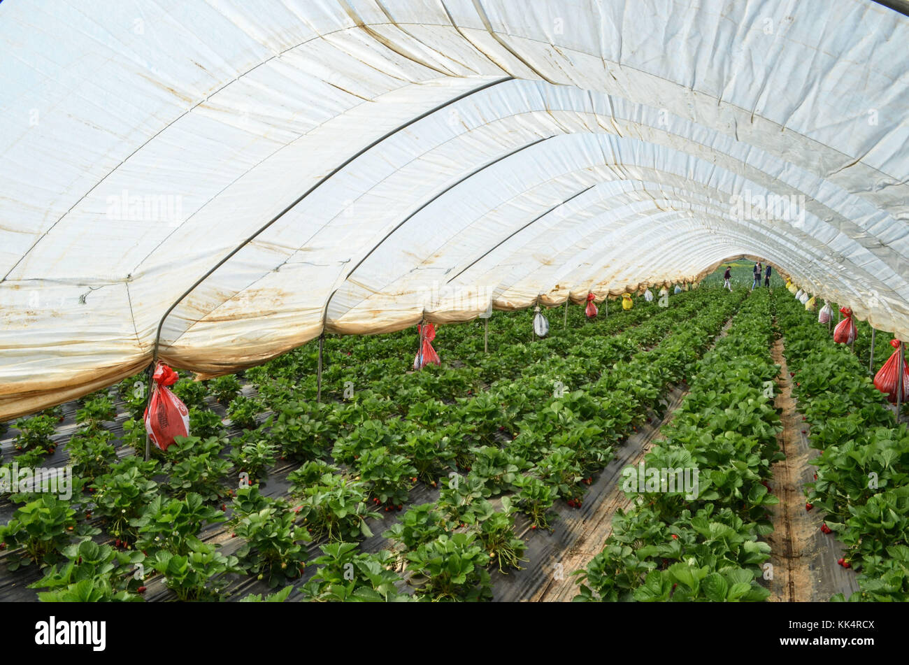 Italy; Tuscany: Capalbio. Strawberries growing in greenhouses in Capalbio, a town in the Grosseto Province. - Stock Image