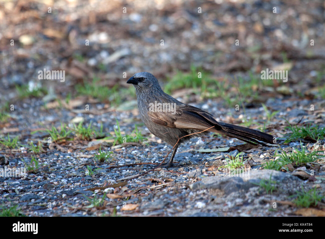 Apostlebird foraging for seeds on the ground in Queensland Australia - Stock Image
