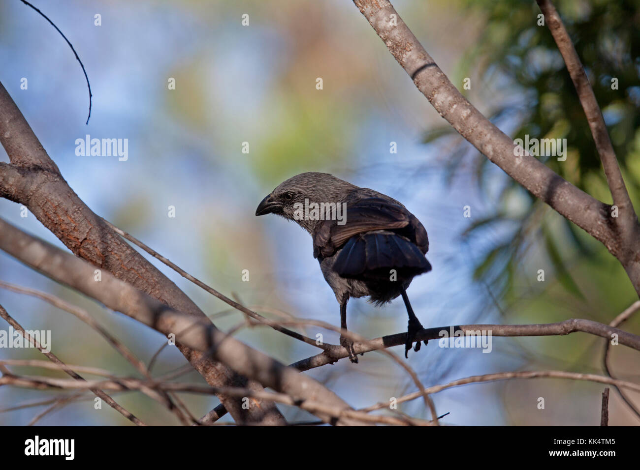 Apostlebird perched on branch of tree in Queensland Australia - Stock Image