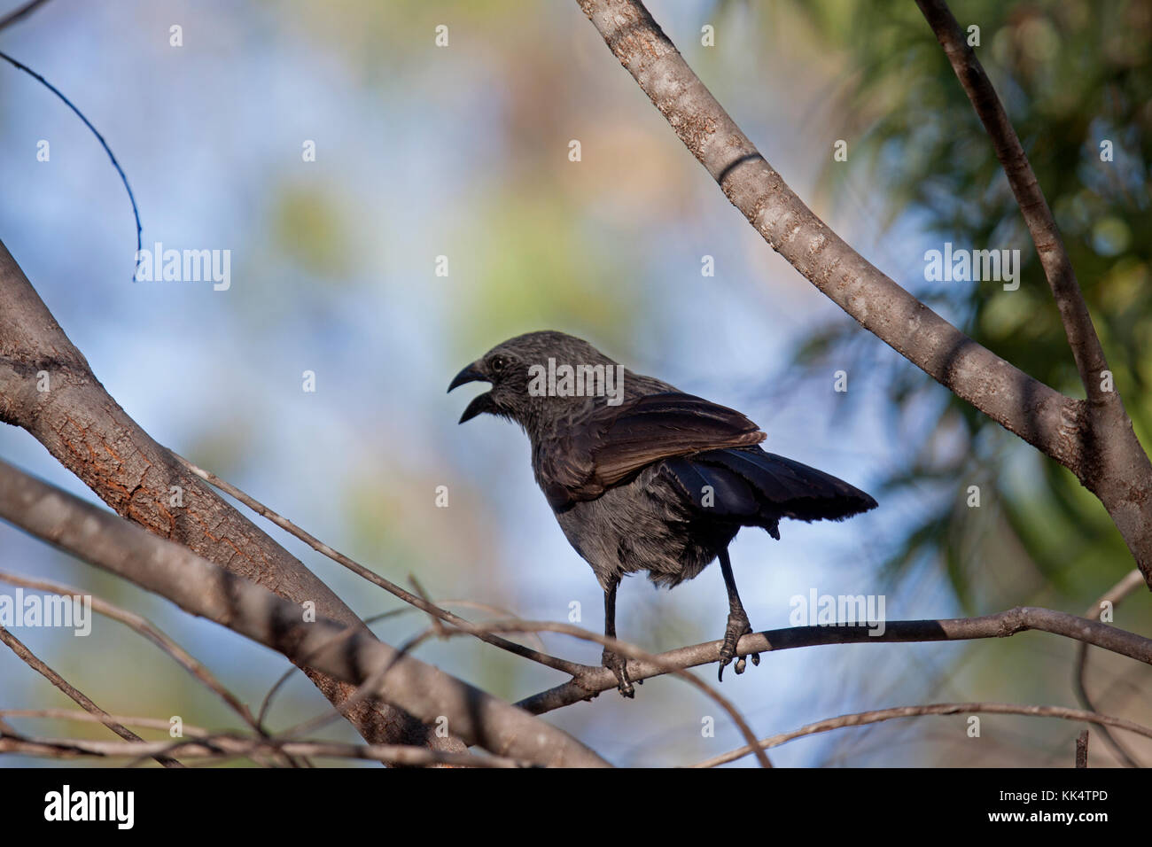Apostlebird calling from its perch on branch of tree in Queensland Australia - Stock Image