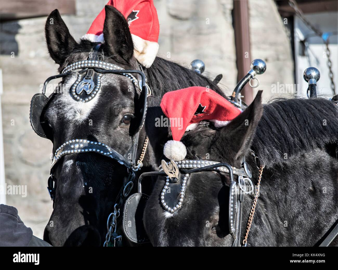 Horses At Christmas High Resolution Stock Photography And Images Alamy