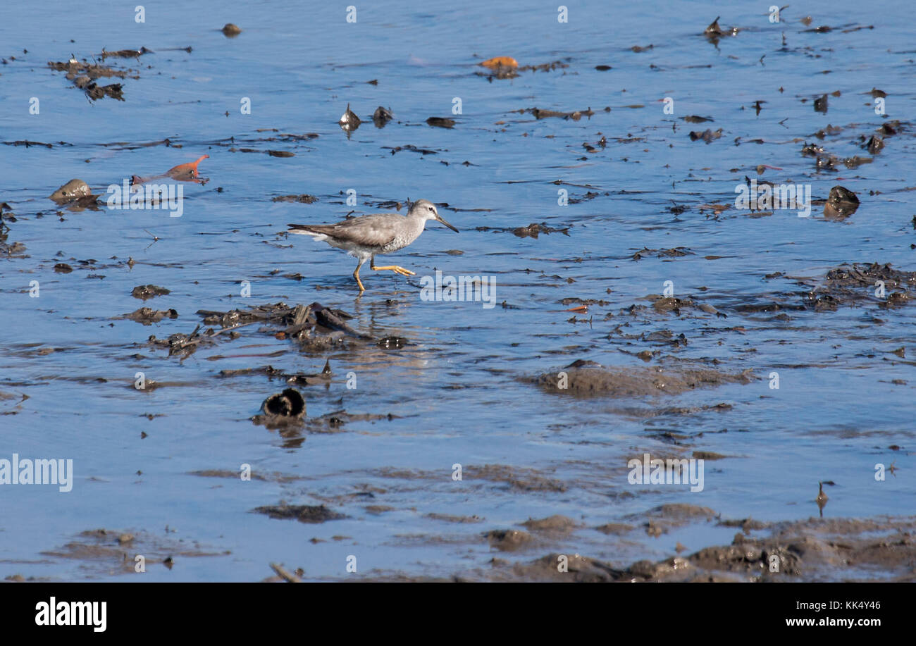 Grey tailed tattler foraging on sandy shore in Queensland Australia - Stock Image