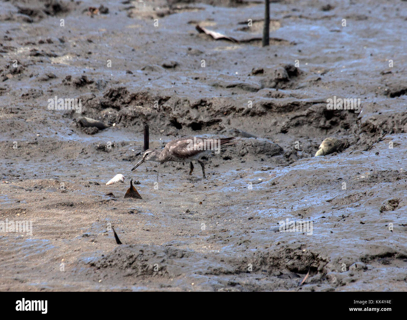 Grey tailed tattler investigating shell as it forages on mudflat in Queensland Australia - Stock Image