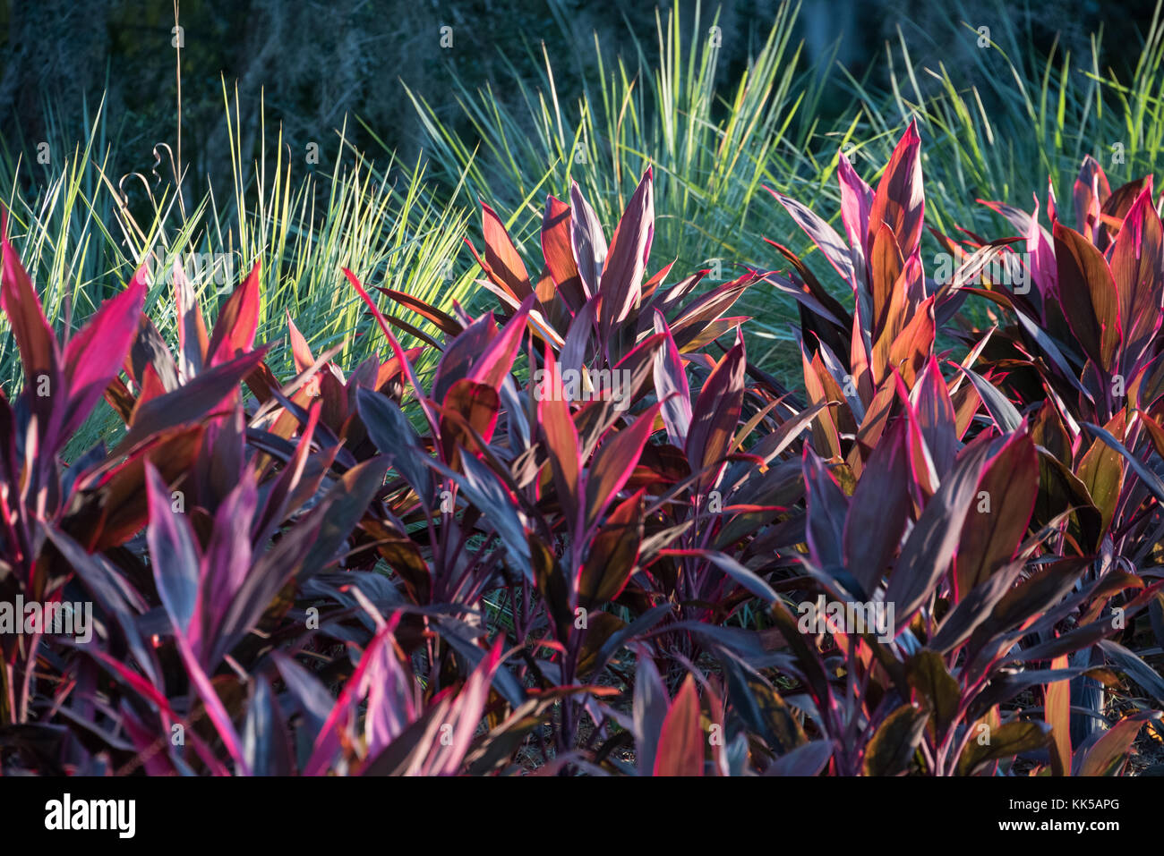Sunlit Florida landscaping at Sawgrass Players Club in Ponte Vedra Beach, Florida. (USA) - Stock Image