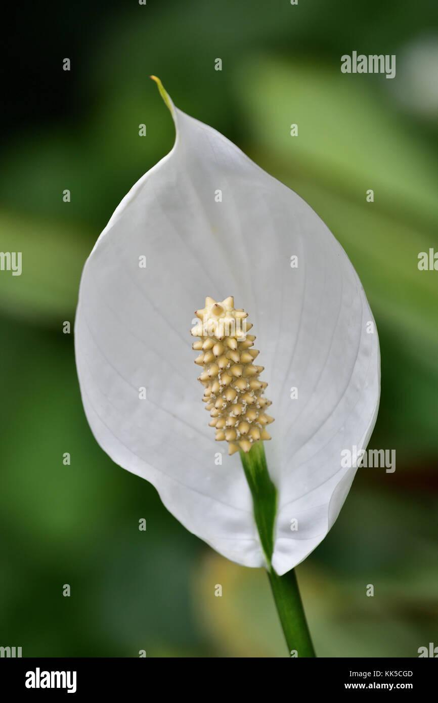 An Australian Peace Lily Flower Stock Photo 166691405 Alamy