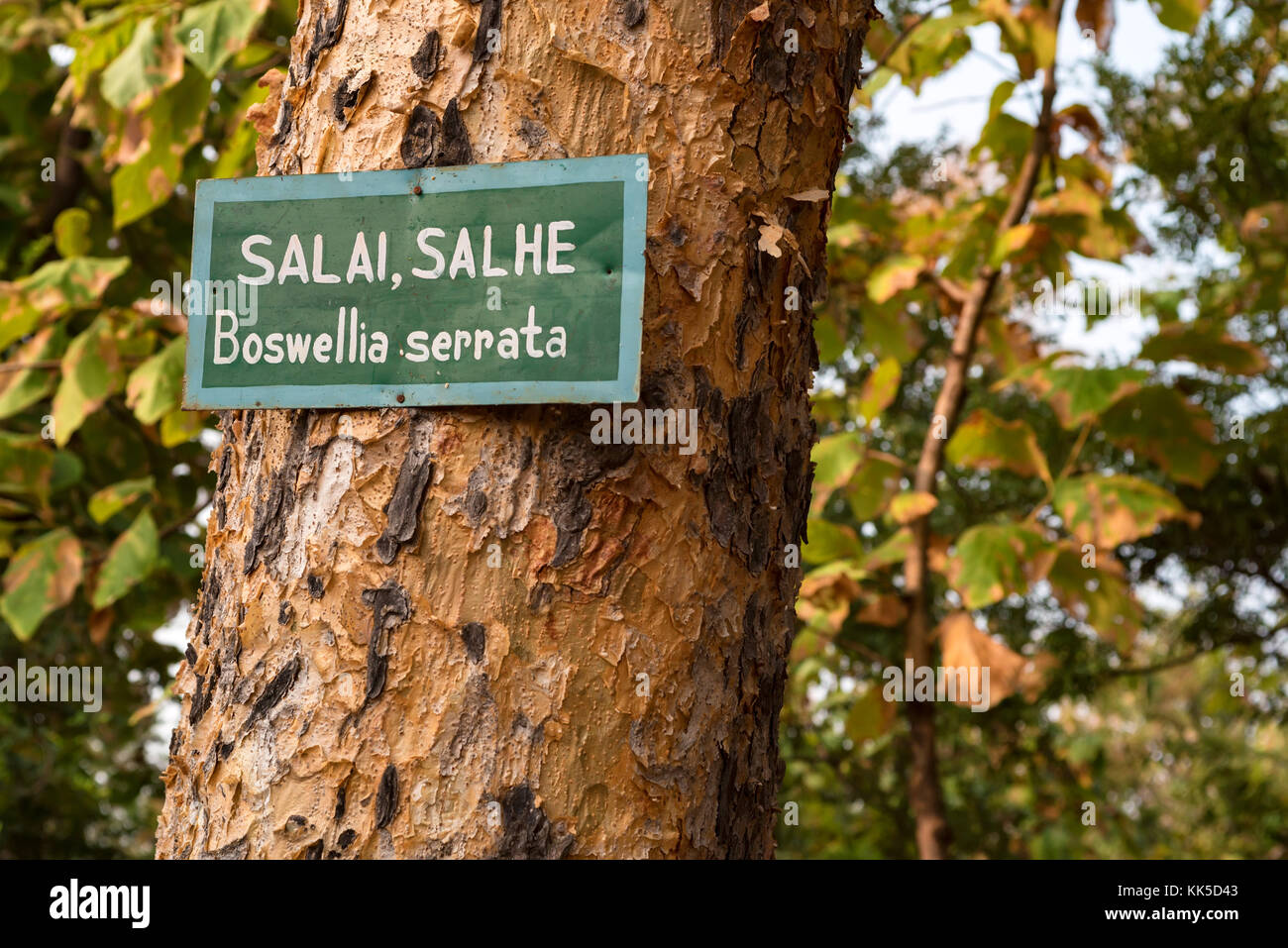 Boswellia serrata tree with plate with its name - Stock Image