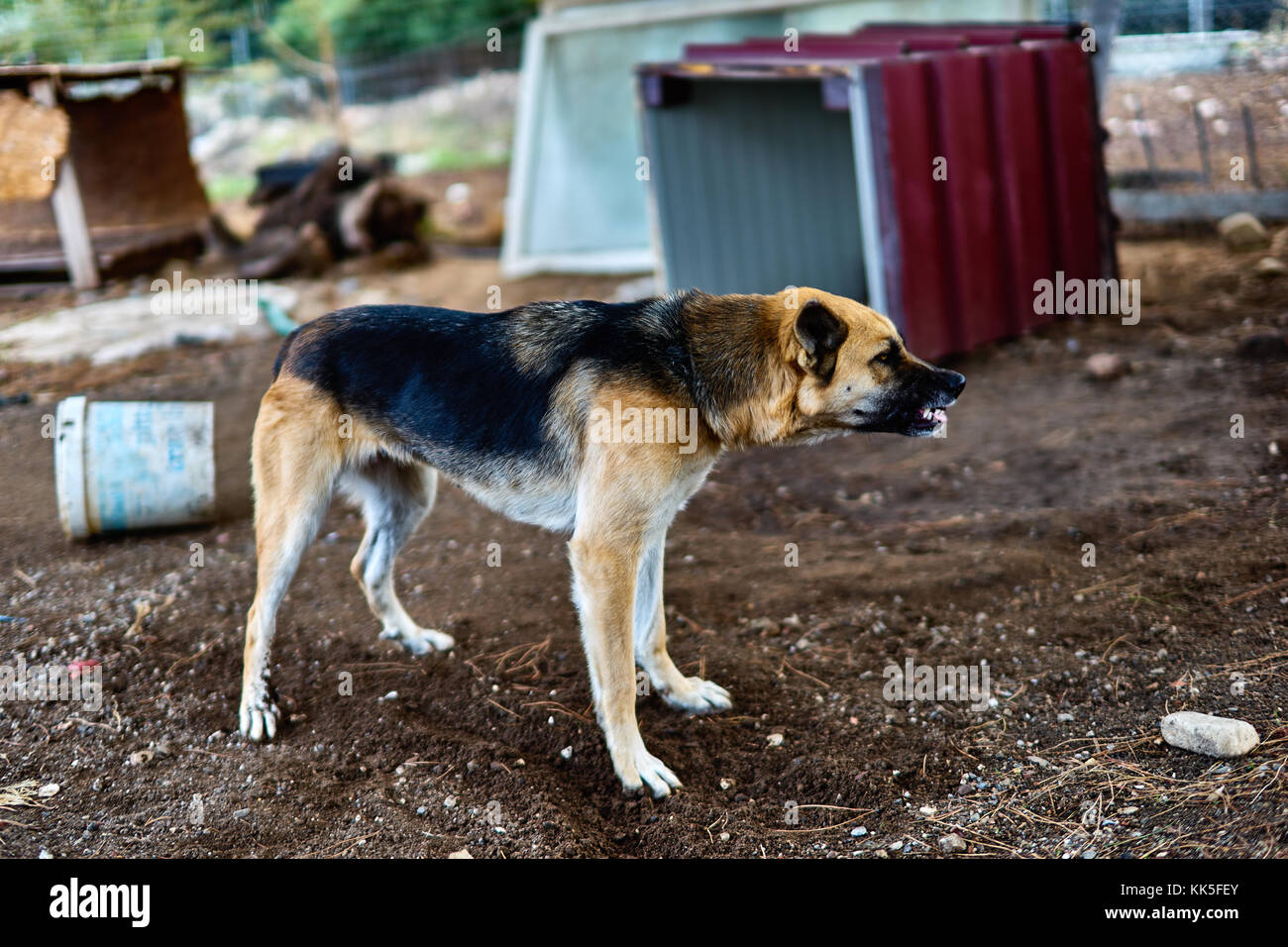 german shepherd dog with aggressive attitude - Stock Image