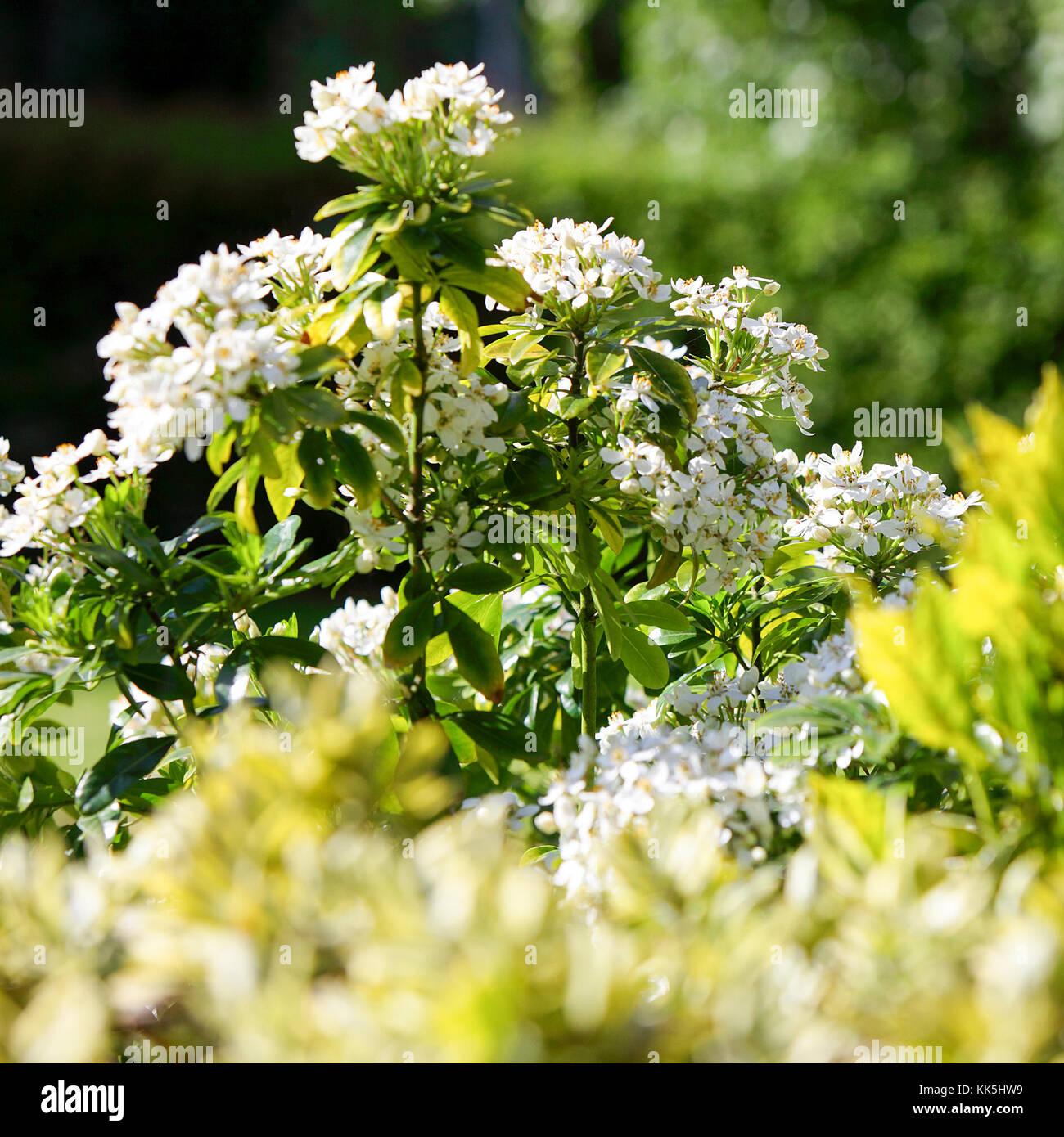 White flowering plants bathed in glorious summer sunshine in Acton Burnell, Shrewsbury, Shropshire, England. - Stock Image