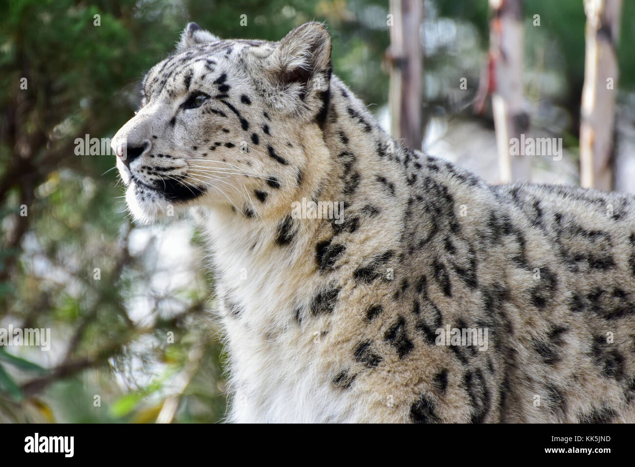 113454912478 The snow leopard or ounce is a large cat native to the mountain ranges of  Central