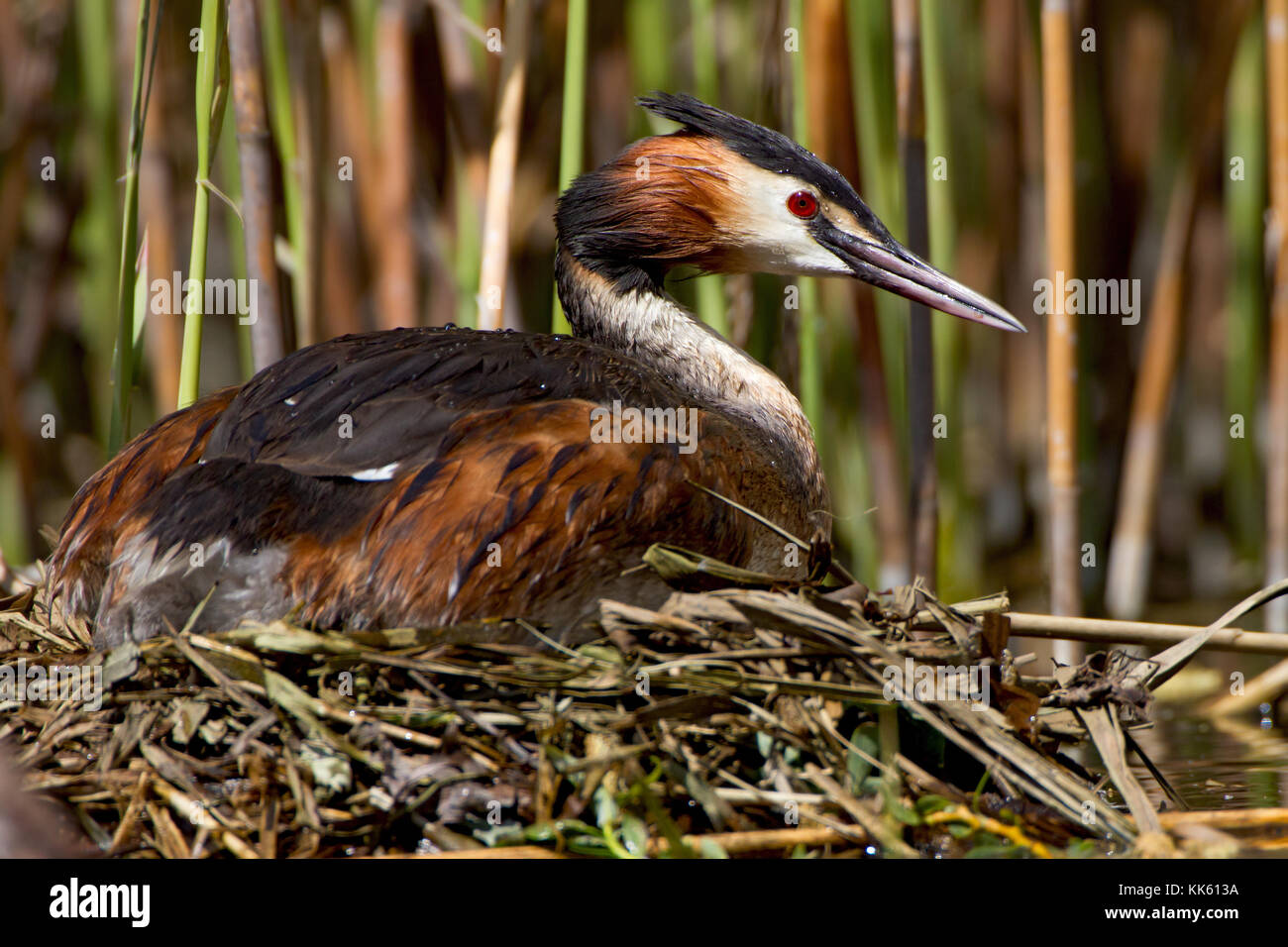 Bigger creek on the nest - Stock Image