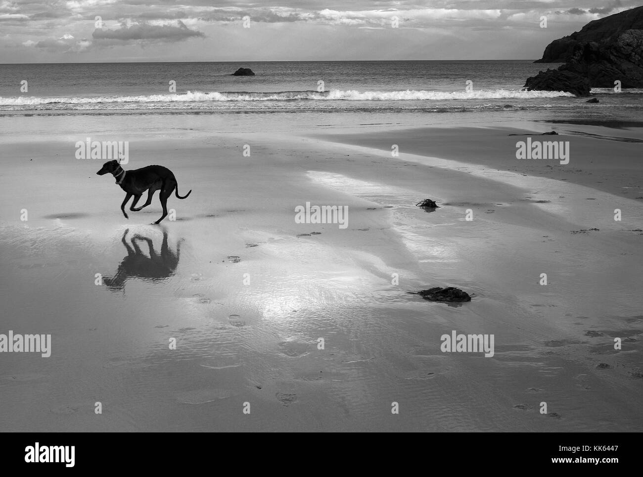 Greyhoung running free, Sango Sands, Durness, Scotland - Stock Image