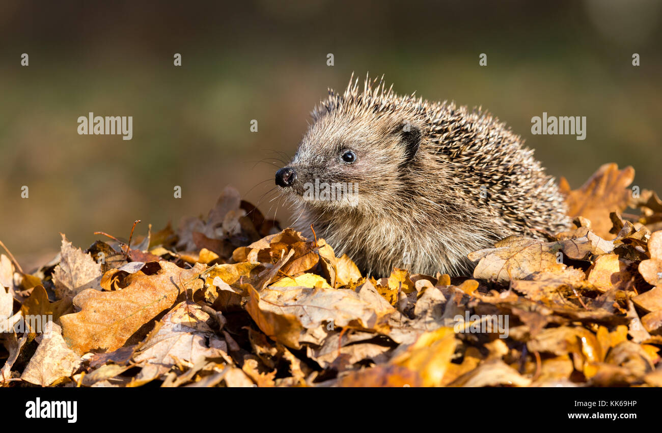 Hedgehog, wild, native hedgehog sat on golden brown Autumn leaves - Stock Image