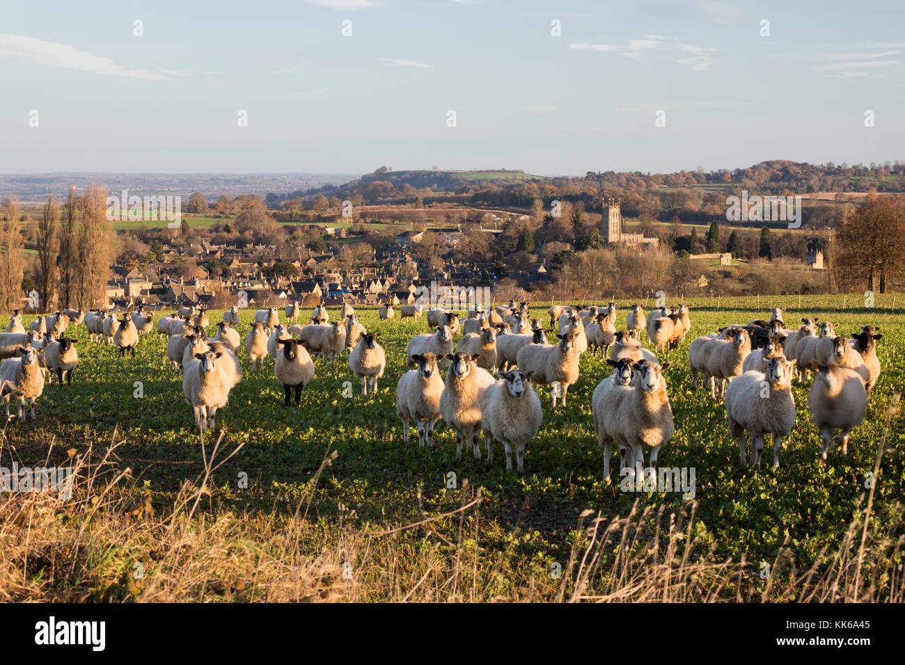 Sheep in field above Cotswold town of Chipping Campden with St James' church in winter, Chipping Campden, Cotswolds, - Stock Image