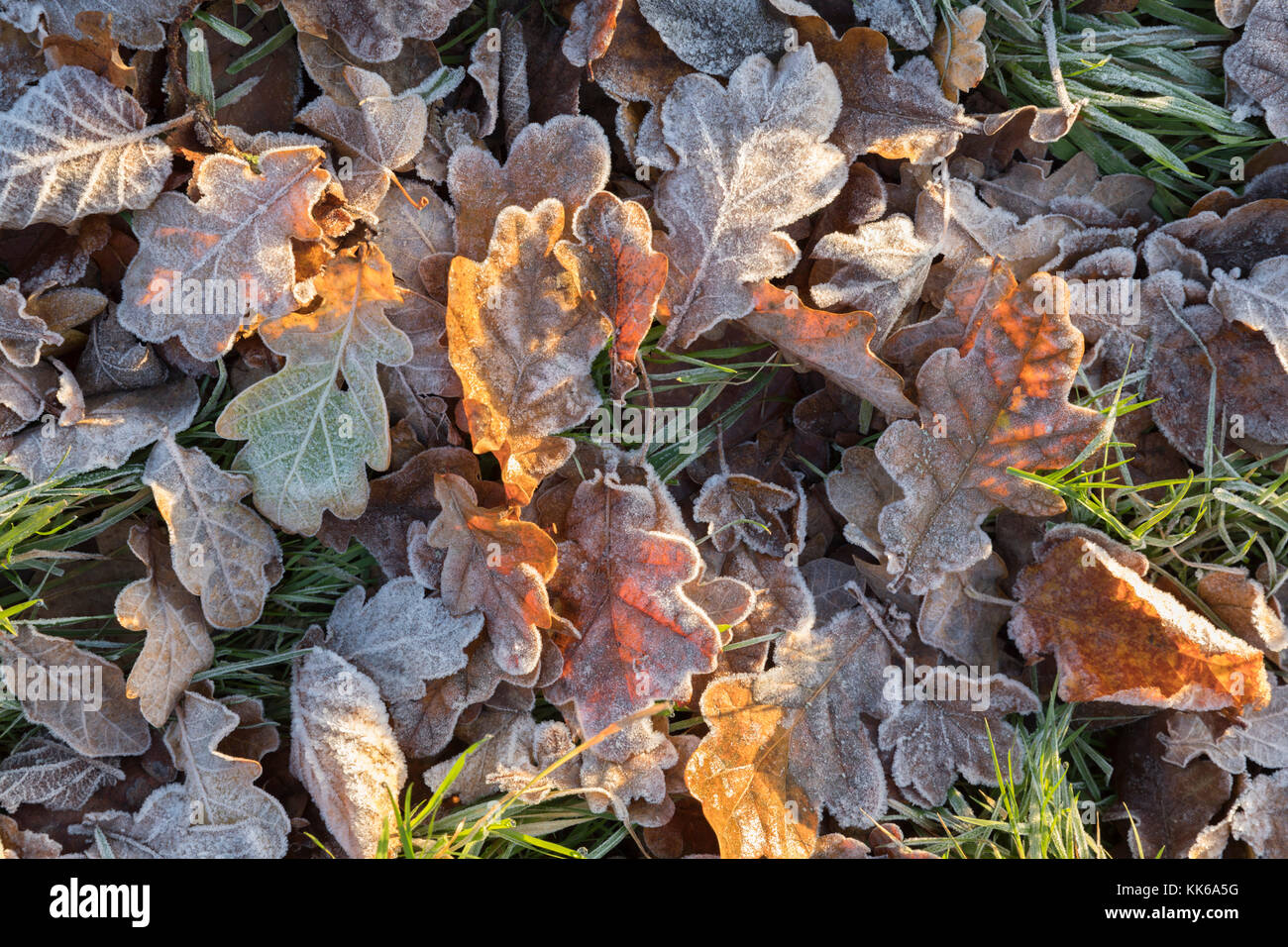 Frost covered oak tree leaves on ground on winter morning, Burwash, East Sussex, England, United Kingdom, Europe - Stock Image