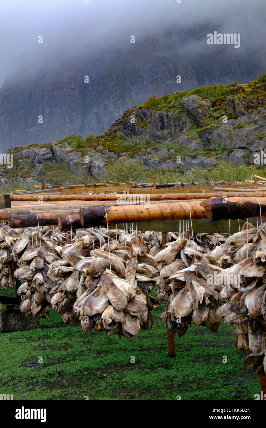 Wind drying code on wooden frames is a  part of the traditional method of preserving fish in the Lofoten Islands, - Stock Image