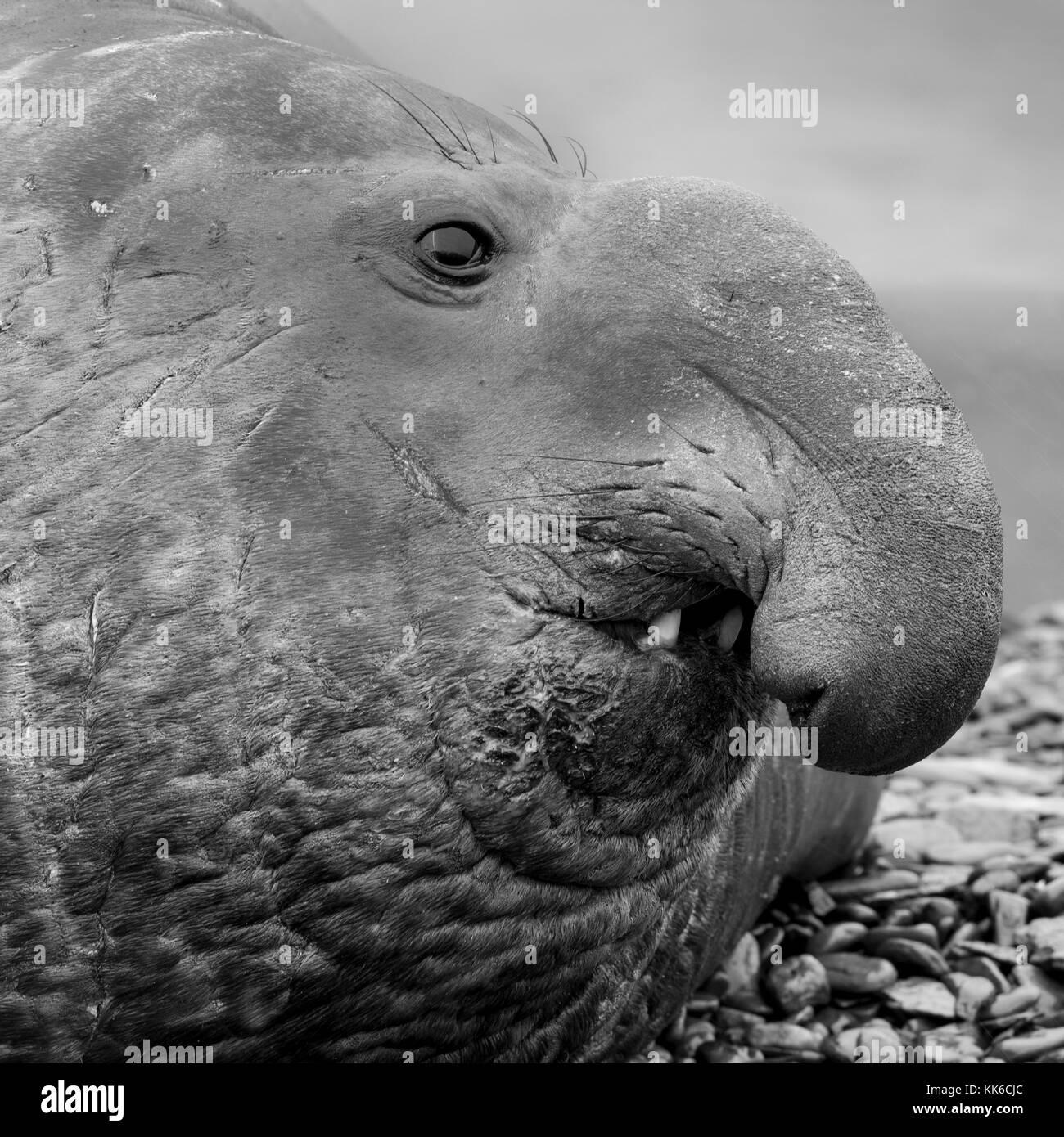 Mature male elephant seal with characteristic proboscis near Peggotty Bluff in King Haakon Bay, South Georgia Island - Stock Image