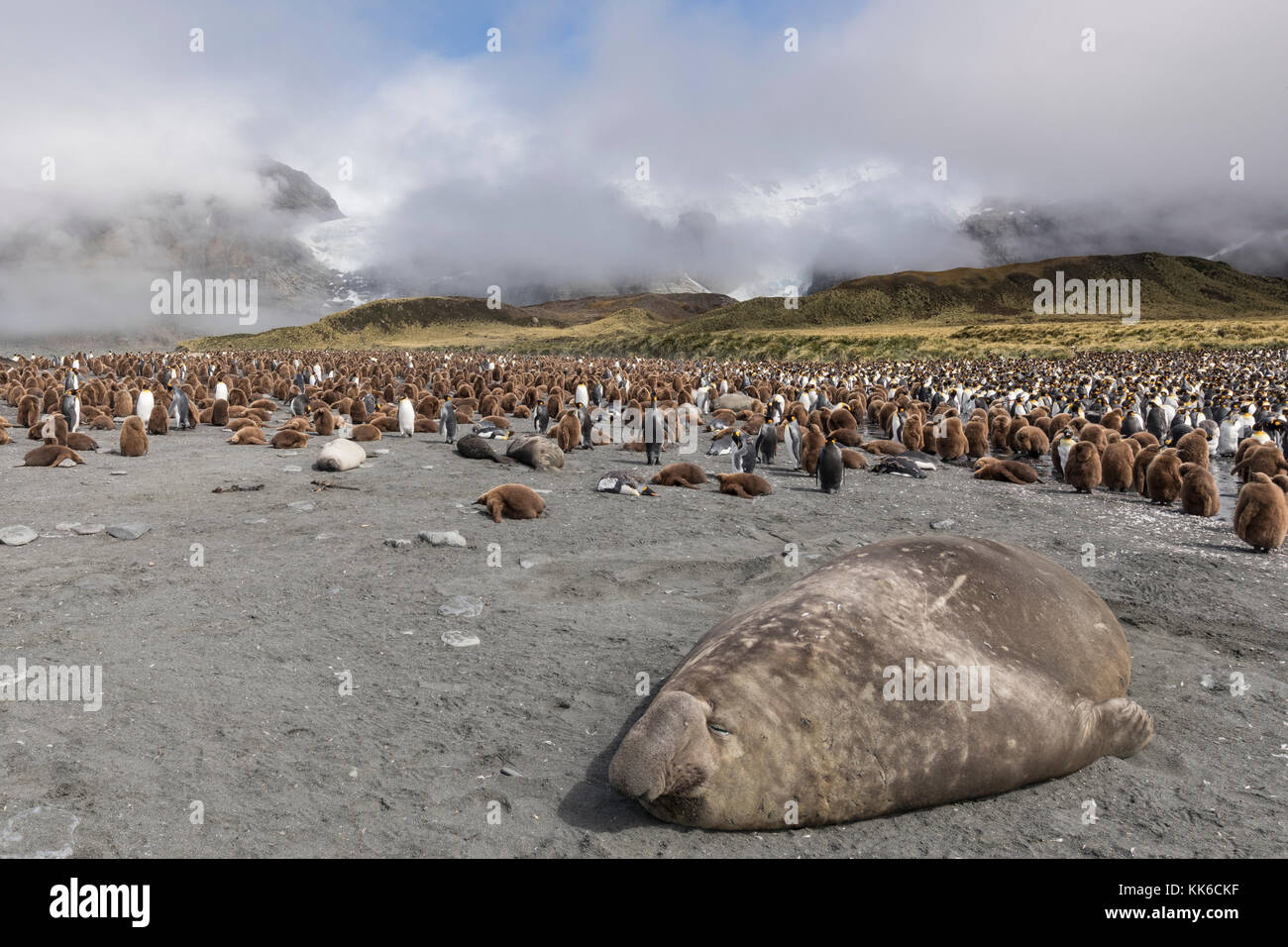 Elephant seal sleeps in forground with molting adult and down covered immature king penguins, Gold Harbour, South - Stock Image