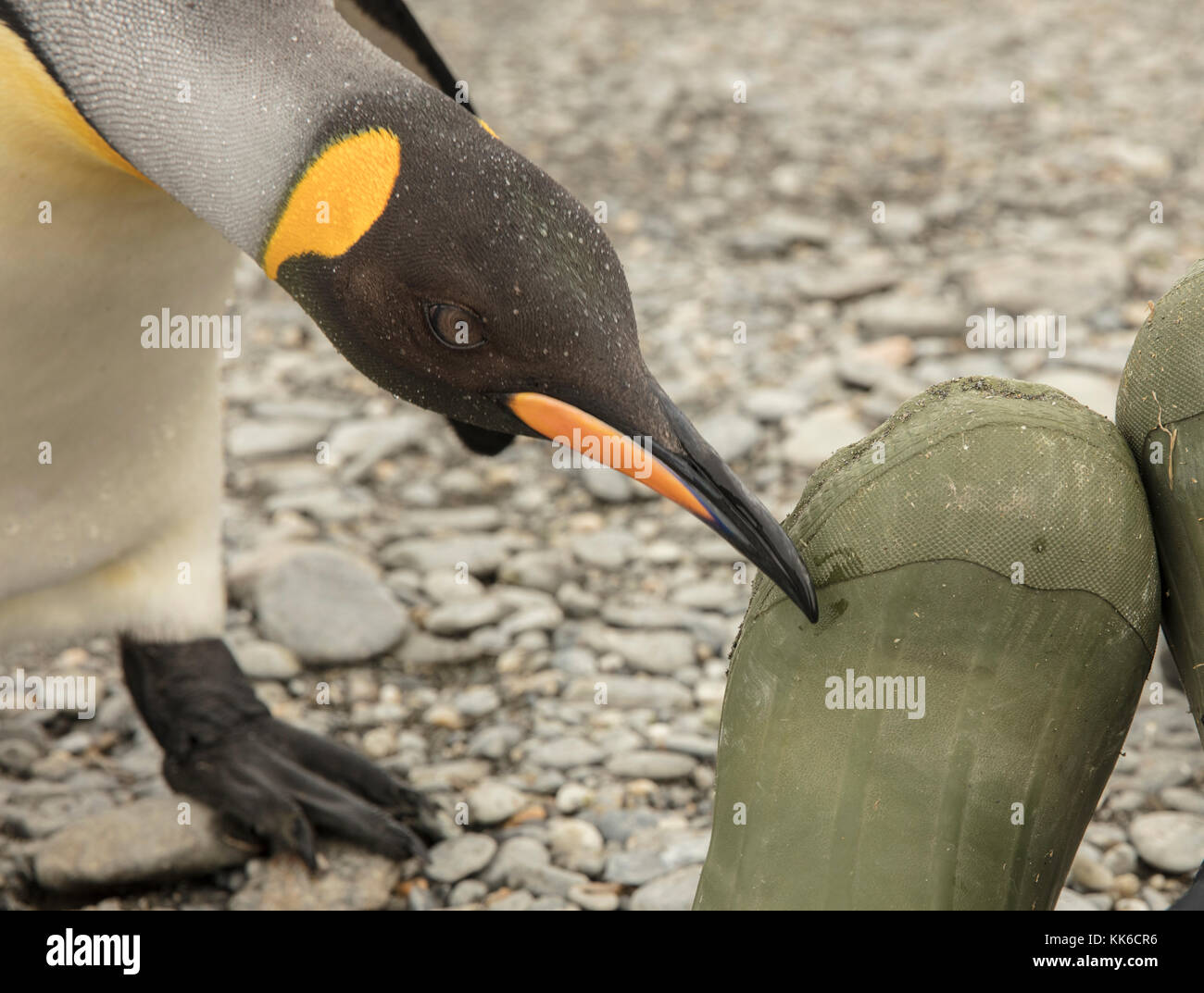 Curious king penguin checks out an ecotourist's rubber boot at St Andrew's Bay, South Georgia Island - Stock Image