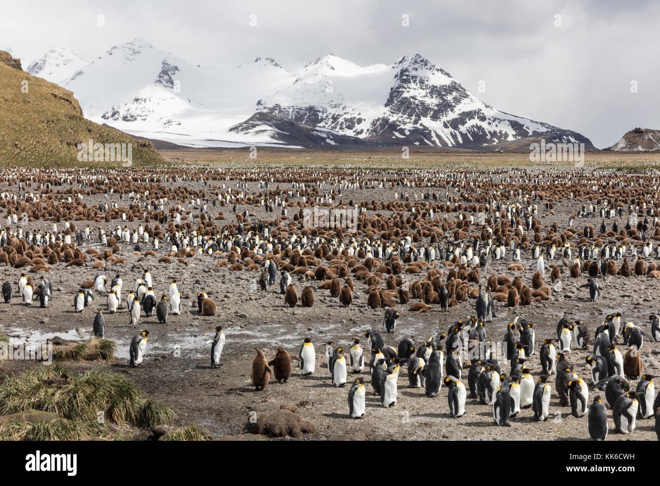 King penguin colony at Salisbury Plain, South Georgia Island Stock Photo