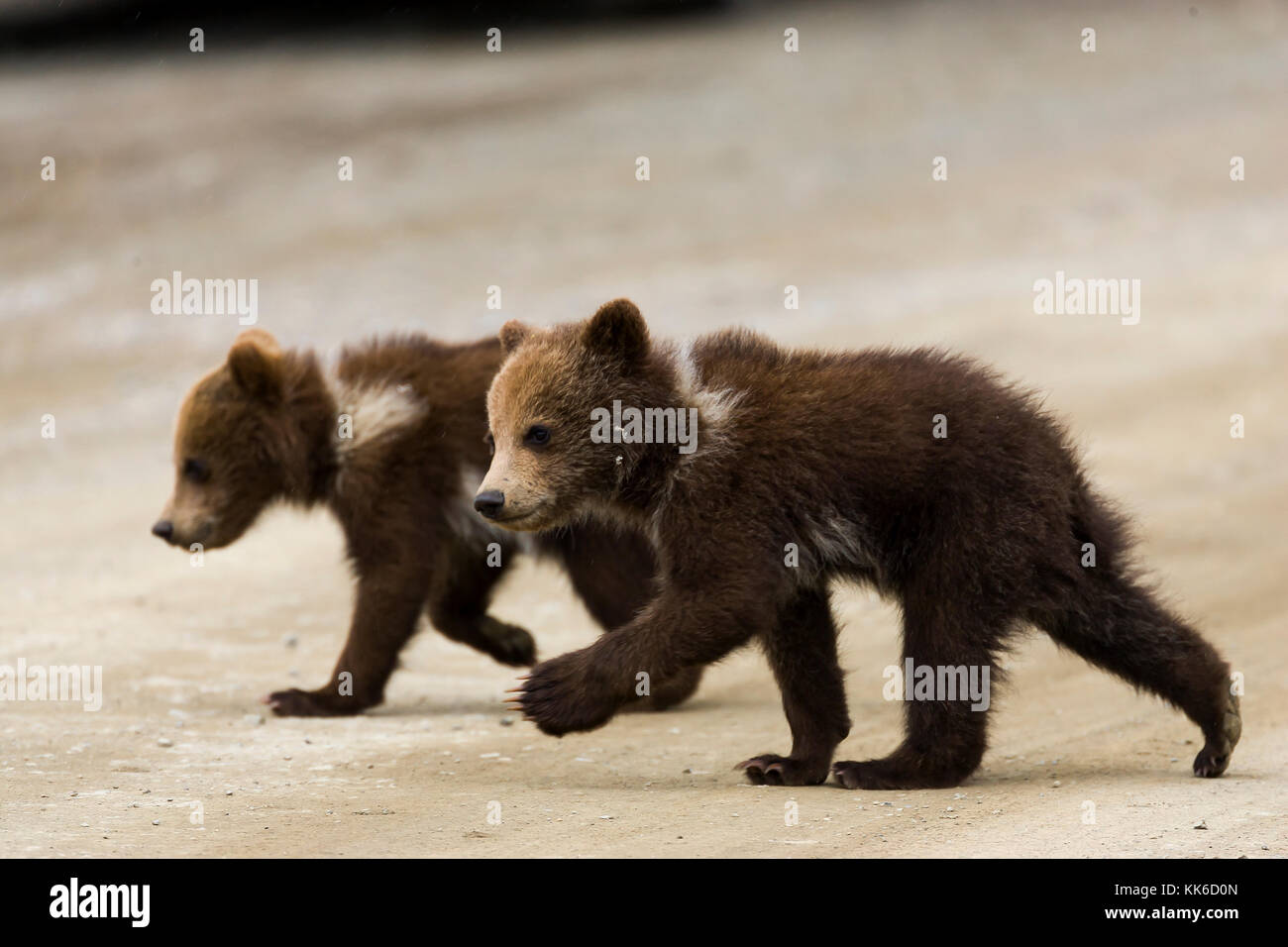 Grizzly bear (Ursus arctos) Two cubs of the year crossing the park road in Throfare Pass, Denali National Park - Stock Image