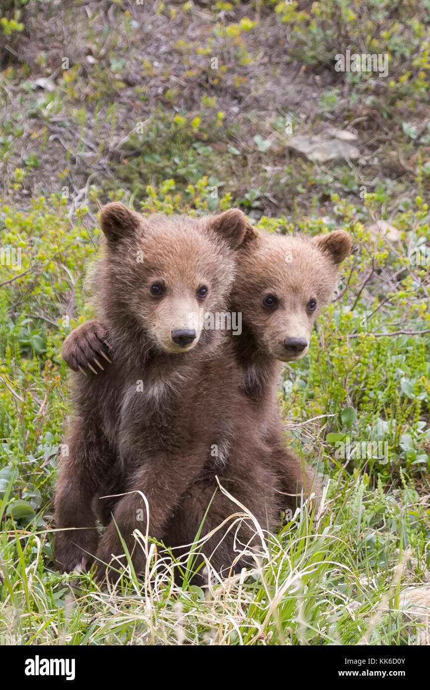 Grizzly bear (Ursus arctos) Two cubs of the year playing with each other under the protection of their mother in - Stock Image
