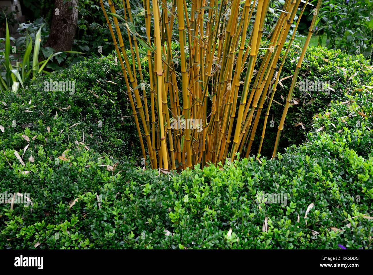 phyllostachys vivax aureocaulis, golden yellow Chinese timber bamboo, bamboos,bamboo, structure, structural ,plant, - Stock Image