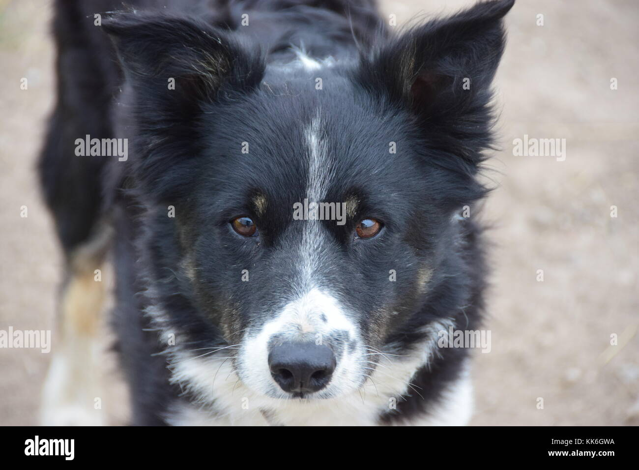 East Yorkshire working Border Collie with different facial expressions and postures - Stock Image
