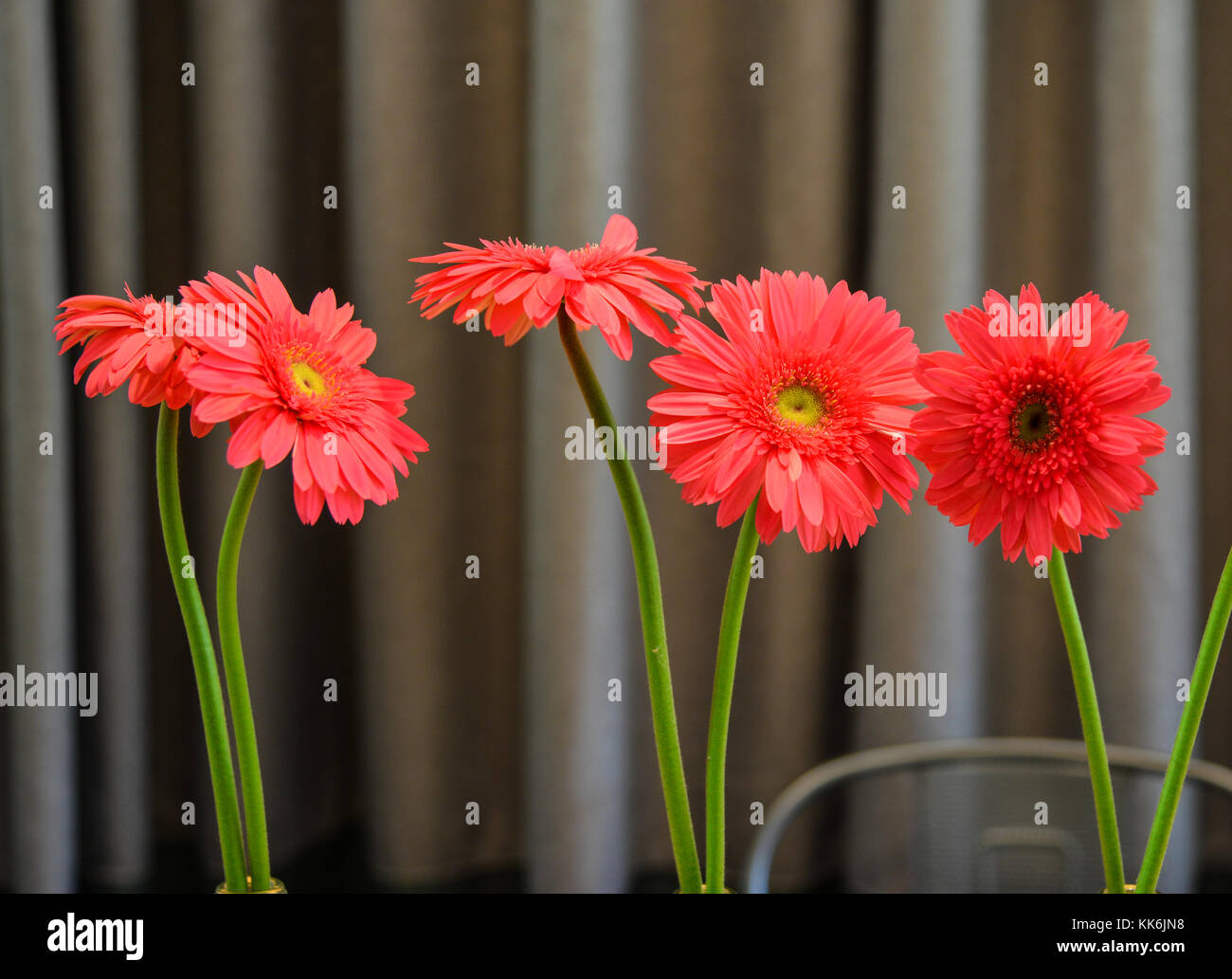 Gerbera flowers for decorations with curtain background. - Stock Image