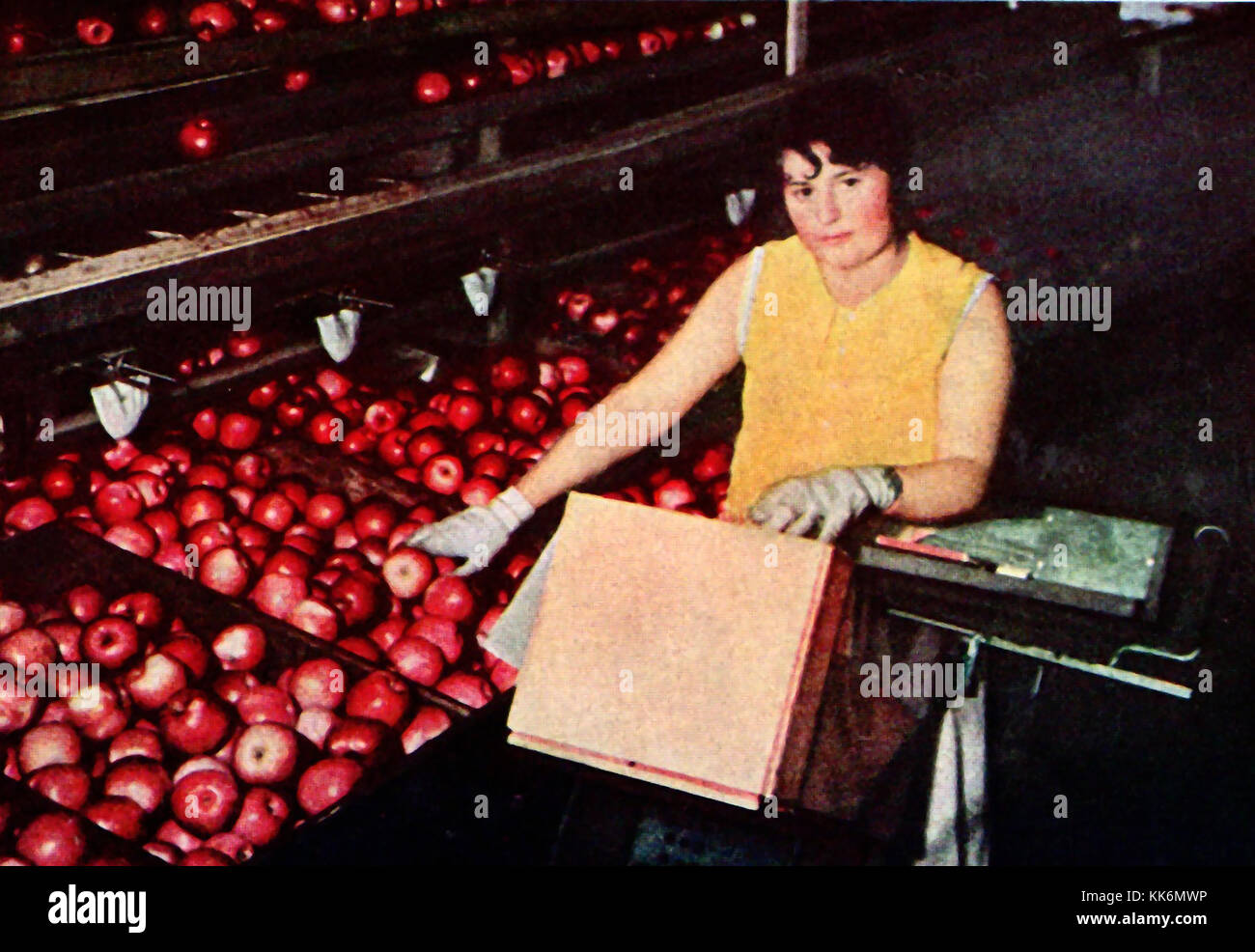 1933 - WENATCHEE THE APPLE CAPITAL OF THE WORLD. A vintage color photograph - Sorting apples at Wenatchee USA   Stock Photo