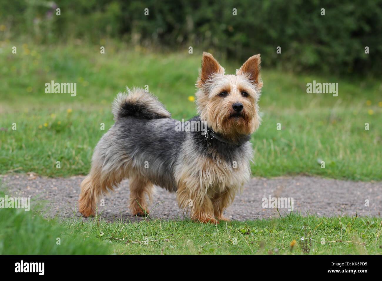 Terrier - Norwich Norwich Terrier Black tan - Stock Image