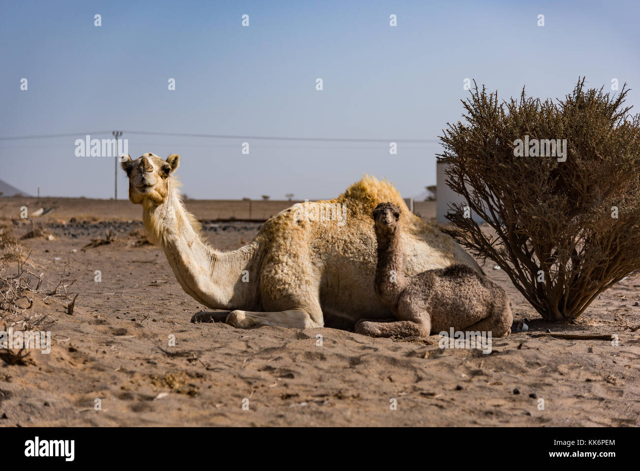 Camel mother and offspring on a camel farm in the desert north-east of Jeddah, Saudi Arabia. - Stock Image