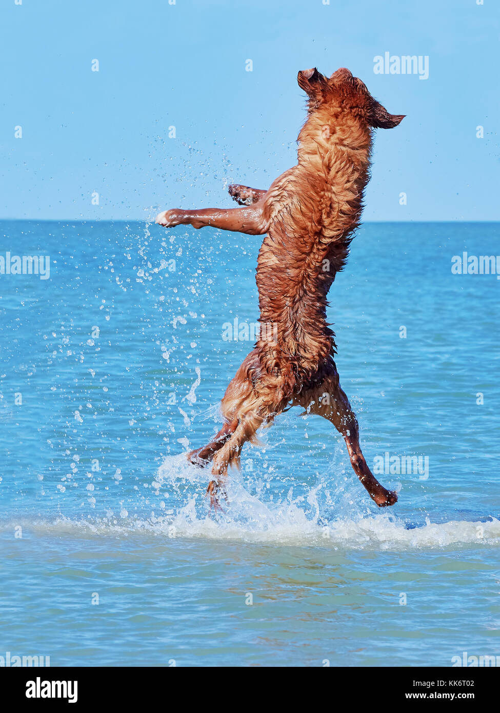 Little Pyrenean Shepherd jumps high from the sea - Stock Image