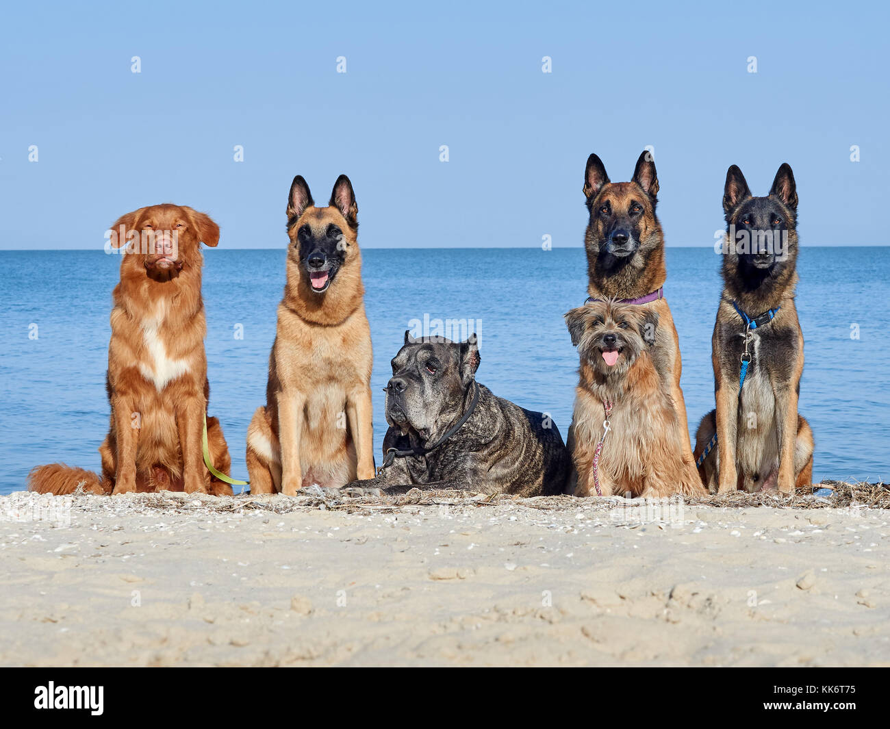 Three Malinois Belgian, Little Pyrenean Shepherd Dog, Cane Corso and New Scotch Retriever posing on the seashore - Stock Image