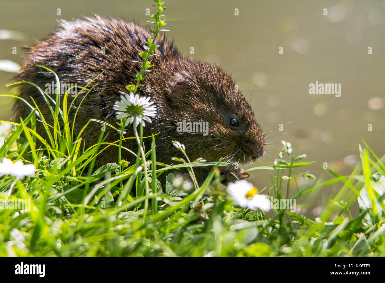 Water Vole Arvicola terrestris feeding on vegetation (and apple from visitors) at Arundel UK on river banks near Stock Photo