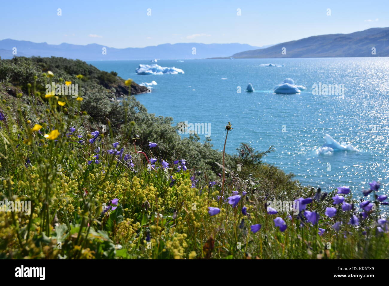 Wild flowers and ice flows Narsarsuaq, Greenland - Stock Image