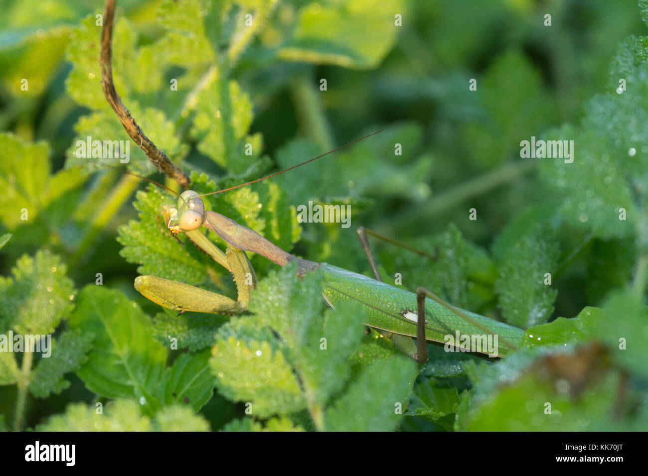 Close-up of female praying mantis (Sphodromantis viridis) in Cyprus Stock Photo