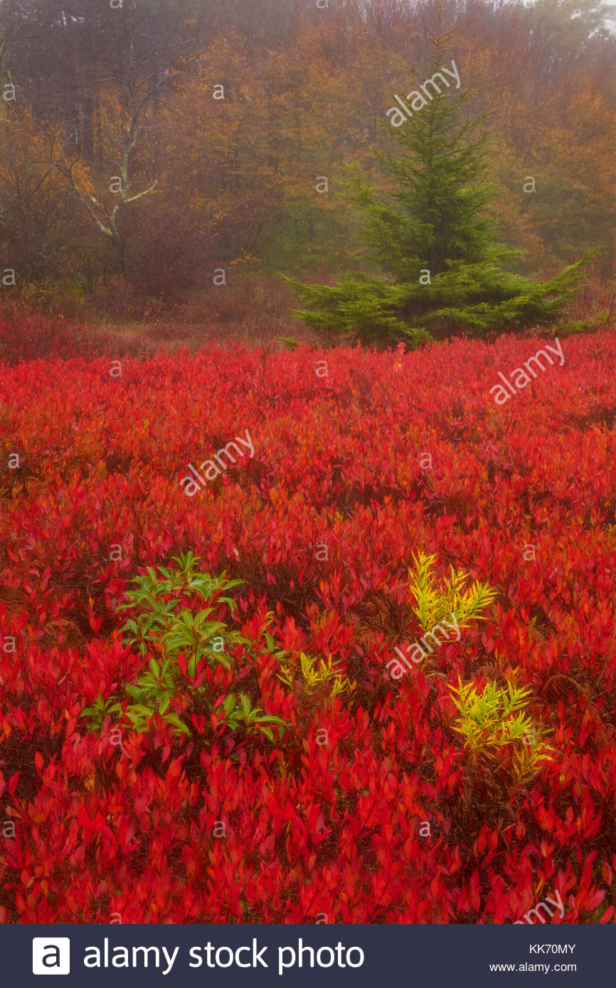Fiery red ground cover carpets the Rohrbaugh Plains in fall color, located in the Dolly Sods Wilderness in the Monongahela - Stock Image