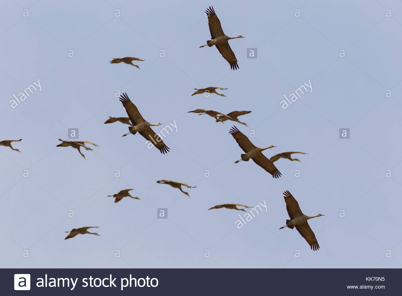 A flock of sandhill cranes (Grus canadensis) circles over the Columbia National Wildlife Refuge in Washington state. - Stock Image