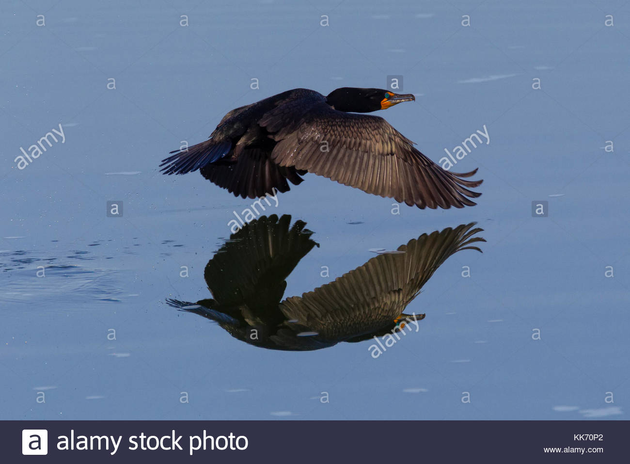 A double-crested cormorant (Phalacrocorax auritus) flies low over a small pond in the Columbia National Wildlife - Stock Image