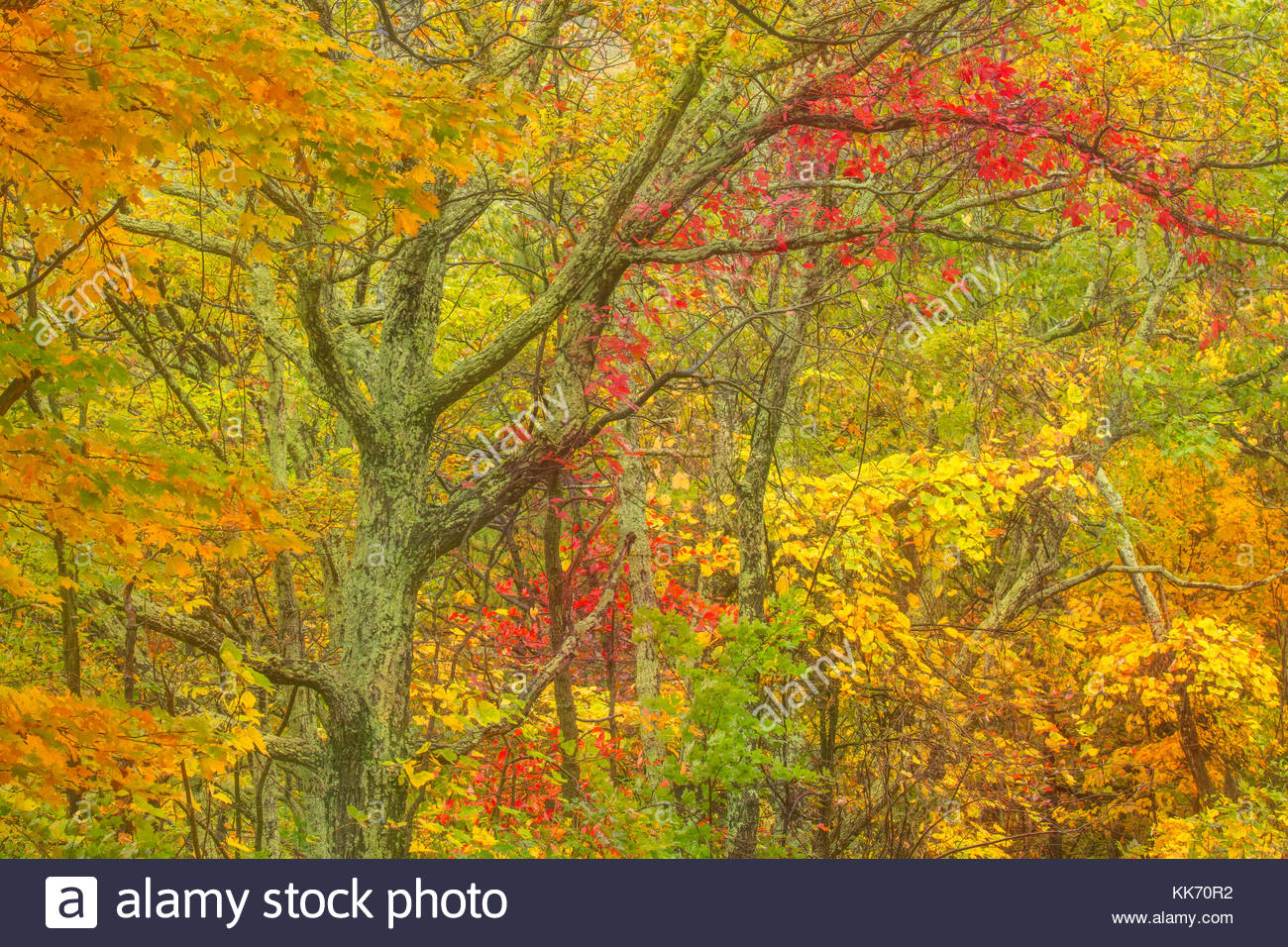 Trees in the Monongahela National Forest near Maysville, West Virginia, display the full spectrum of autumn colors Stock Photo