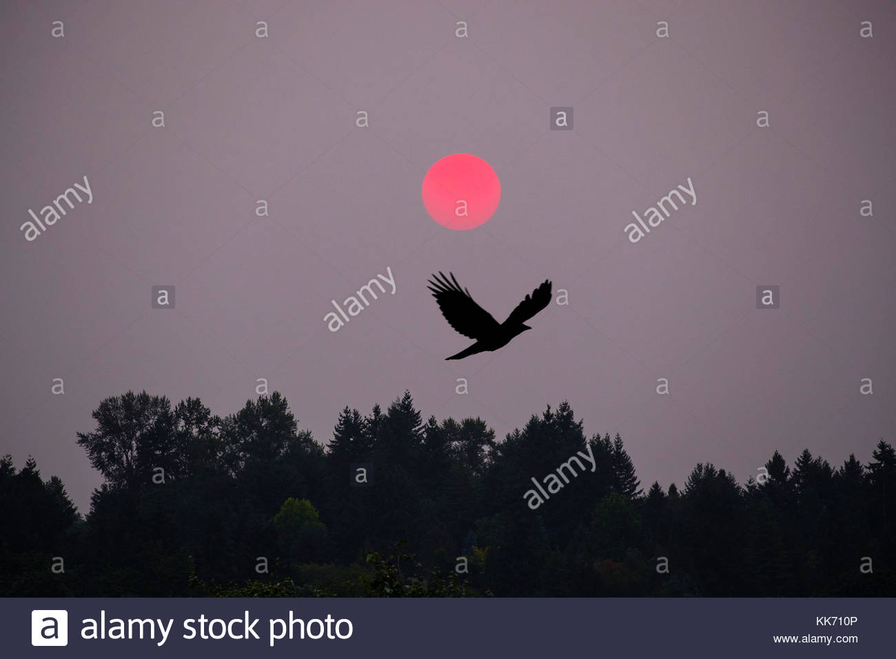 As the sun rises through thick haze caused by extensive wildfires, an American crow (Corvus brachyrhynchos) flies - Stock Image