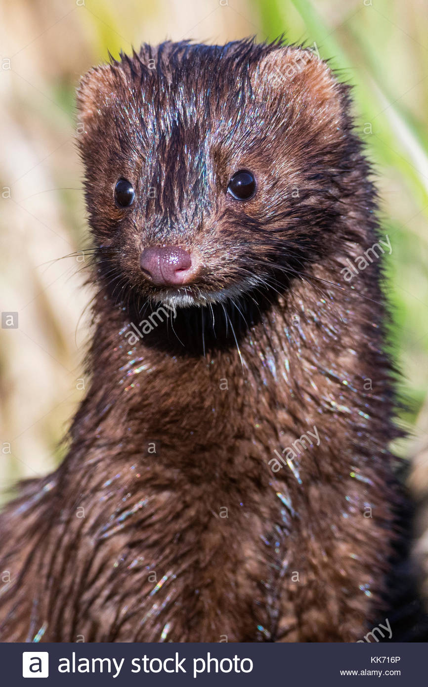 An American mink (Neovison vison) tries to dry out in the sunshine after emerging from Wiley Slough in the Skagit - Stock Image