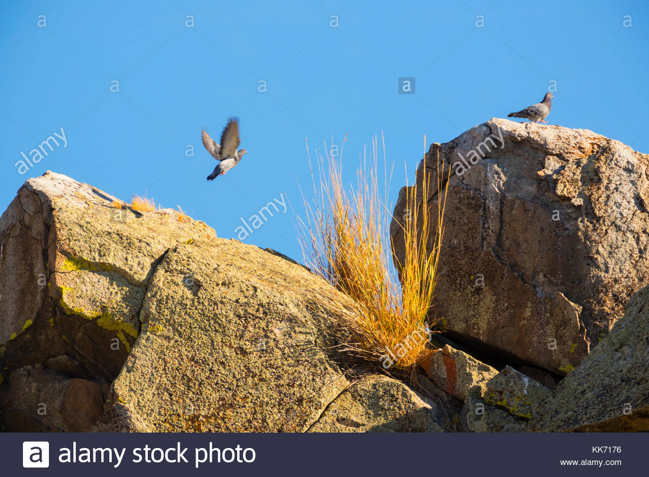 Two rock pigeons (Columbia livia) gather on the top of a rock outcropping in the Mormon Basin of Malheur County, - Stock Image