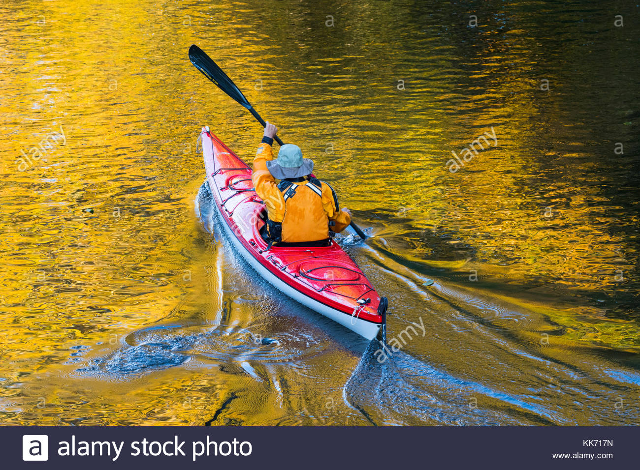A kayaker plies the waters of the Sammamish River in Bothell, Washington, which reflect the golden fall color of - Stock Image