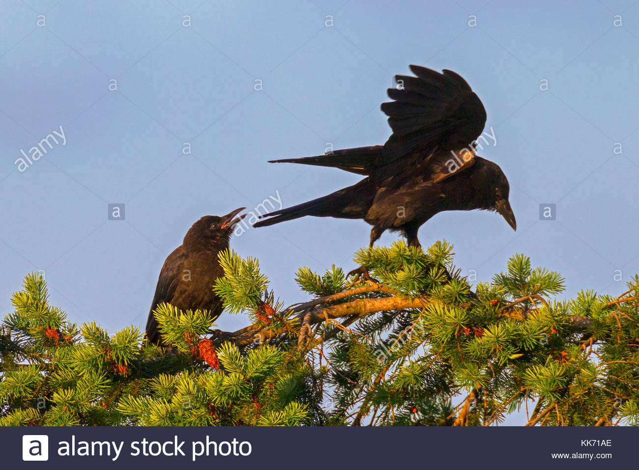 An American crow (Corvus brachyrhynchos) calls at another one that has landed on its perch at the top of a Douglas - Stock Image