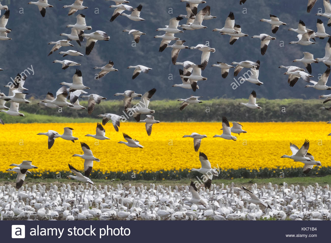 A large flock of snow geese (Chen caerulescens) settle near a field of daffodils in La Conner, Washington. - Stock Image